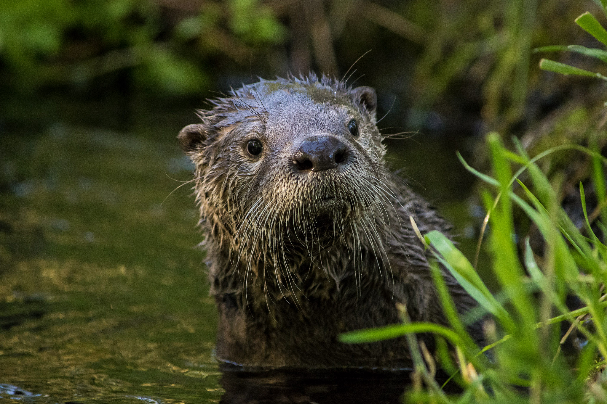 Native Sun News Today: Comments due on trapping otters